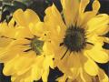 Tuula Marita Hartikainen: Summer Flowers